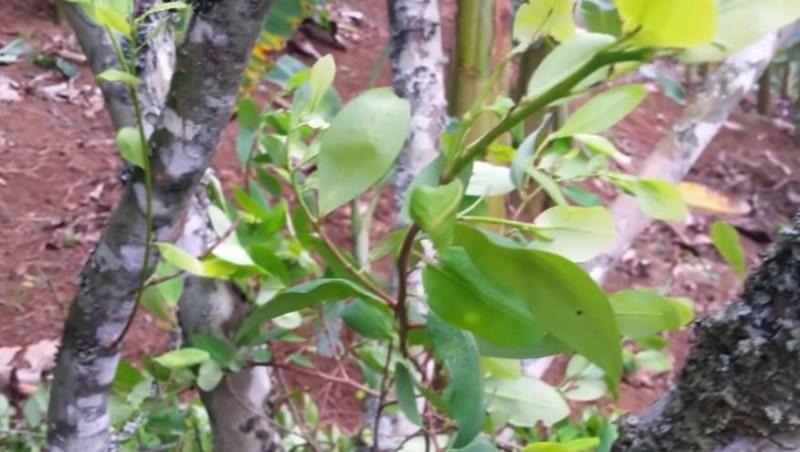 krasnodrzew z peru