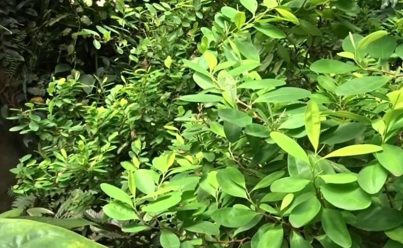 liście krasnodrzewu pospolitego
